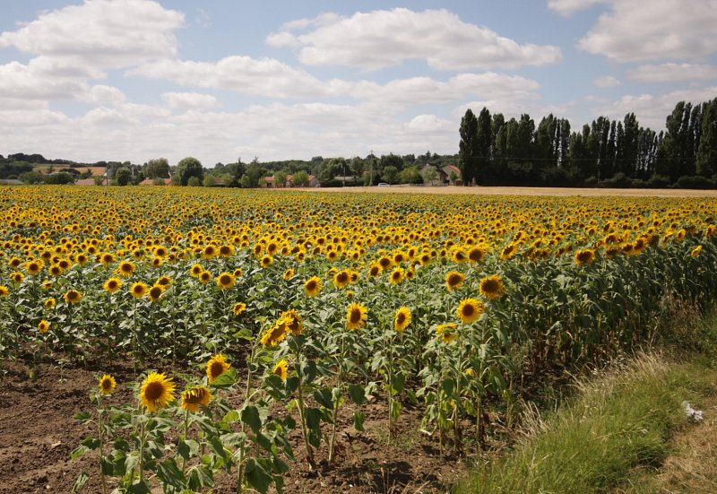 Sunflowers at Mignac